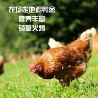 鸡鸭禽 (16)